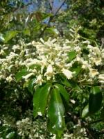 Native Jasmine
