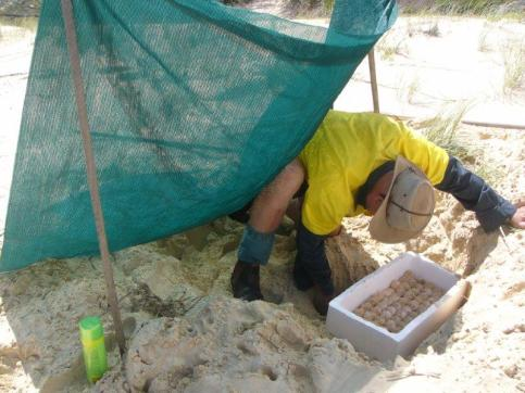 Digging up Loggerhead nest on beach to be relocated into nesting pen