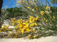 Jacksonia scoparia is one of colonizing woody plants of Hammerstone Sandblow