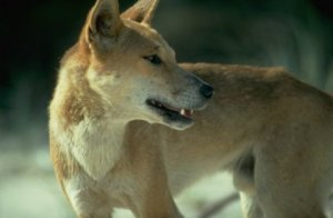 Resolving human-dingo conflicts