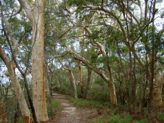 Kingfisher. A Scribbly Gum (Eucalytus racemosa) avenue lines track to the Stonetool Lookout