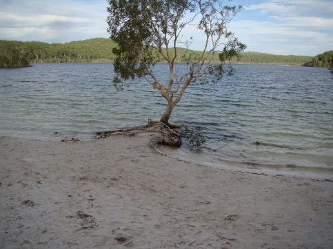 This melalueca focal point for Boorangoora 3 had water lapping it on s sides in 15 March, 2013