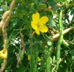 Flowering Easter cassia