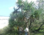 QPWS staff and volunteers stem injecting Pandanus south of Yidney Rocks February 2012