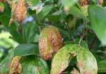 Myrtle rust on Rhodamnia spp. foliage. (Photo: Courtesy of Biosecurity Queensland)