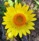The everlasting paper daisy is now flowering in coastal areas