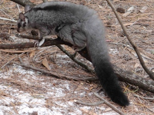 Squirrel-Glider-at-Lake-McKenzie