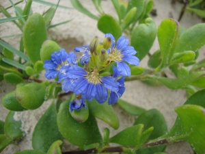Scaevola calendulacea (photo Michael Lowe) Check out plants for your Fraser Island garden