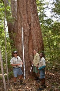 Scarred tree at Lake Bowarrady being assessed by Phil Fitzpatrick (SPSS), Wayne Tobane and Malcolm Burns (Jr), QPWS