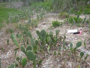 Prickly Pear infestation on Picnic Island