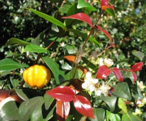 Brazilian Cherry has a delicious fruit - but is totally unsuitable for Fraser Island and quickly can become a weed