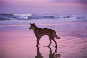 What values do you place on the Fraser Island dingo?