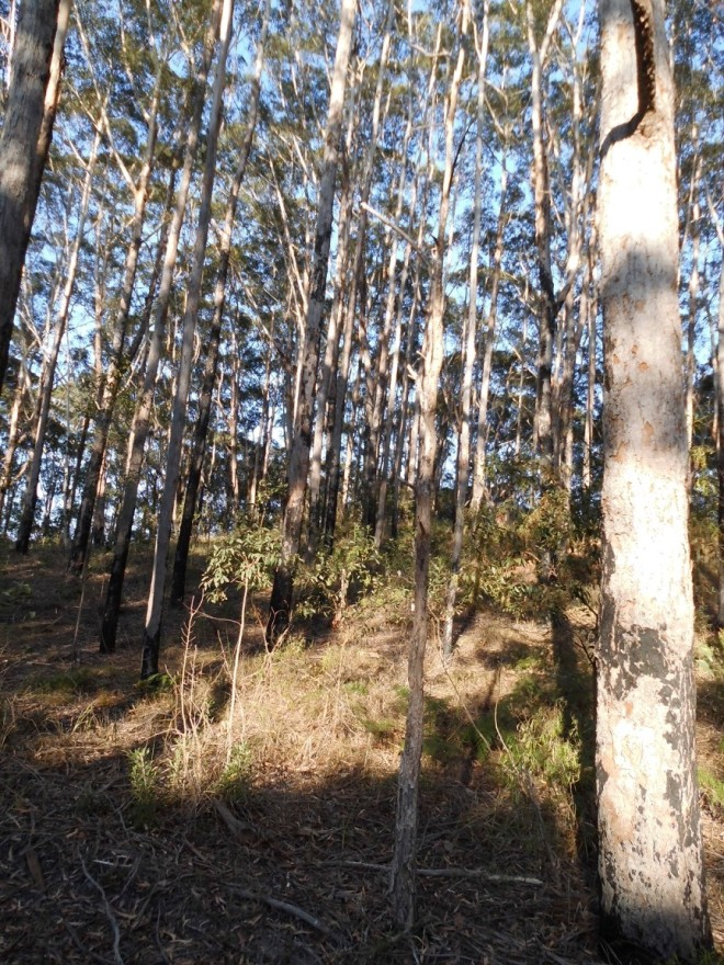 The experimental Blackbutt plantation, established by the Queensland Forestry Department in 1975, 40 years later.  The area lies adjacent to a mined area, over the hill.
