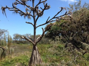 A dead pandanus tree, with a healthier plant behind it. It is these healthier plants that the biocontrol method aims to save