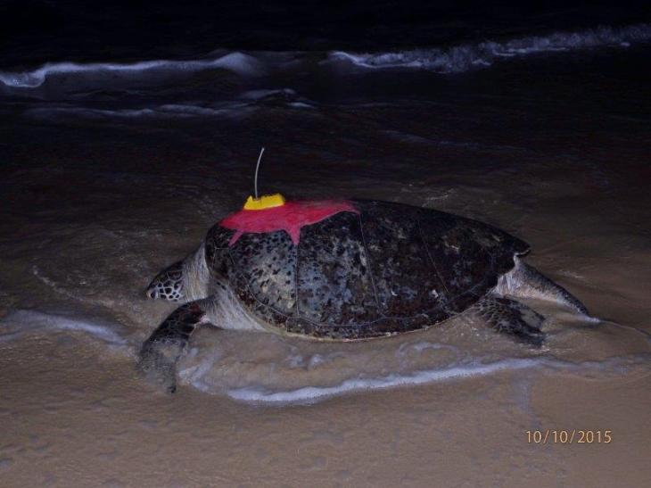 green turtle tracking