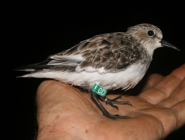 Another of our region's remarkable shorebirds, the red-necked stint. Photo taken just prior to release, after banding.