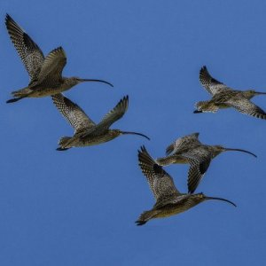 Far Eastern Curlew_credit DS Hovorka (002)