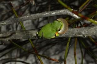 sedgefrogs
