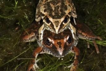wallum-rocket-frog