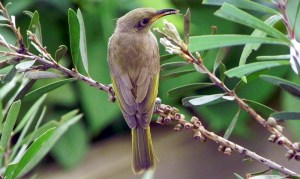 BrownHoneyEater