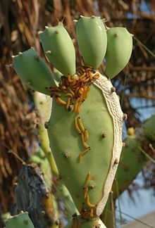 PricklyPear_Bio